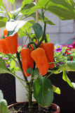 Grande pimenta vermelha doce Fotos de Stock Royalty Free