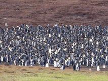 Grande pinguino di re della colonia di incastramento, patagonicus dell'aptenodytes, punto volontario, Falkland Islands - Malvine Fotografie Stock Libere da Diritti