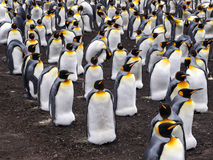 Grande pinguino di re della colonia di incastramento, patagonicus dell'aptenodytes, punto volontario, Falkland Islands - Malvine Fotografia Stock Libera da Diritti