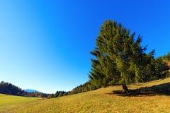 Grande pino in autunno - Trentino Italia Immagini Stock