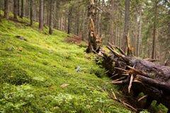 Grande pino rotto Fotografia Stock Libera da Diritti