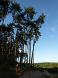 Grande pino vicino vicino alla scogliera Un essere umano da confrontare Fotografia Stock