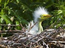 Grande pintainho branco do Egret no ninho imagens de stock