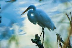 Grande pintura do Egret Fotografia de Stock Royalty Free