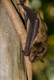 Grande pipistrello marrone Fotografia Stock