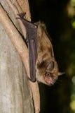 Grande pipistrello marrone Immagini Stock Libere da Diritti