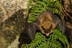 Grande pipistrello marrone Fotografia Stock Libera da Diritti
