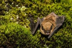 Grande pipistrello marrone Immagini Stock