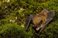 Grande pipistrello marrone Fotografie Stock Libere da Diritti