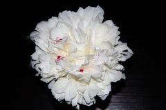 Grande pivoine blanche avec la teinte rose photographie stock