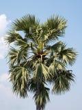 Grande plam do palmyra fotos de stock