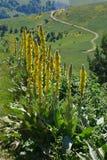 Grande plante médicinale, appelée Divism avec les fleurs jaunes images libres de droits