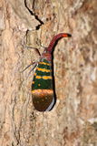 Grande planthopper sull'albero (karenia di Pyrops) Immagine Stock