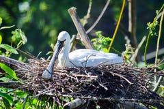 Grande Platalea bianco esotico dell'uccello alba nel nido immagine stock