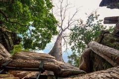 Grande pleine racine de banian couvrant les ventres en pierre Prohm de prasat à Angkor Thom image libre de droits