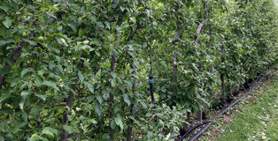 Grande pomar com árvores de Apple Imagens de Stock