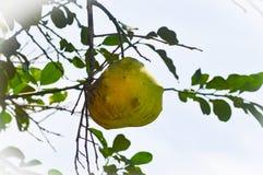 Grande pomelo nativo imagens de stock