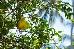 Grande pomelo nativo fotografia de stock