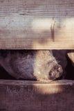 Grande porco branco na exploração agrícola Imagens de Stock Royalty Free