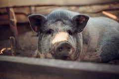 Grande porco branco na exploração agrícola Fotografia de Stock Royalty Free