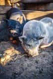 Grande porco branco na exploração agrícola Fotos de Stock