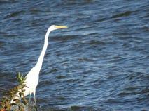Grande posição da garça-real na borda do lago fotografia de stock royalty free