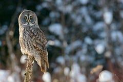 Grande posição de Gray Owl Imagem de Stock Royalty Free