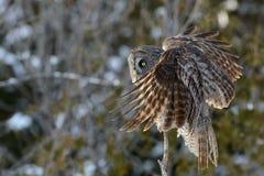Grande posição de Gray Owl Foto de Stock Royalty Free