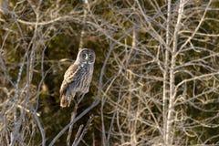 Grande posição de Gray Owl Foto de Stock
