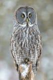 Grande posição de Gray Owl Imagens de Stock Royalty Free