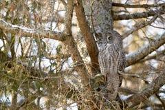 Grande posição de Gray Owl Fotos de Stock