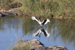 Grande posição preto e branco do pássaro na água imagem de stock