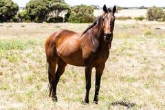 Grande position brune de cheval sur le pâturage en Australie image stock