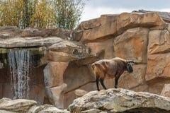 Grande position mammifère devant la cascade image stock