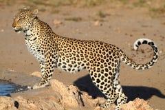 Grande position repérée de chat de léopard Image libre de droits