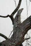 Grande potoo, grandis di Nyctibius Fotografia Stock