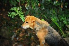 Grande povero cane di Brown Fotografia Stock