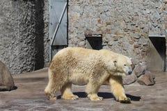 Grande primo piano bianco dell'orso polare fotografia stock