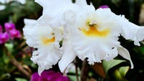 Grande primo piano bianco delle orchidee La macchina fotografica si spost indietroare sul cursore Correzione di colore video d archivio