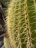 Grande primo piano del cactus Immagini Stock Libere da Diritti