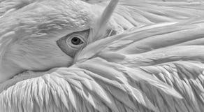 Grande primo piano del pellicano bianco in bianco e nero Fotografia Stock Libera da Diritti