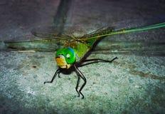 Grande primo piano della libellula la fauna selvatica fotografia stock
