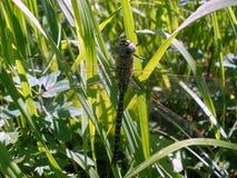 Grande primo piano della libellula su un fondo di erba verde Immagine Stock