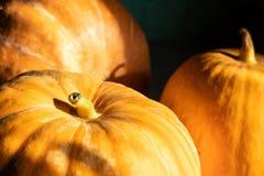 Grande primo piano delle zucche, con bella luce solare e fondo scuro, alimento organico dell'azienda agricola, Halloween e concet fotografie stock