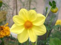 Grande primo piano giallo del fiore della dalia Fotografia Stock