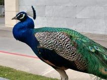 Grande profilo maschio del pavone che esamina macchina fotografica fotografia stock libera da diritti