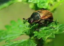 Grande puede el escarabajo Fotografía de archivo libre de regalías