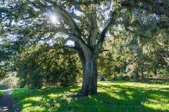Grande quercia che fornisce ombra, Garland Ranch Regional Park, Carmel Valley, penisola di Monterey, California immagine stock