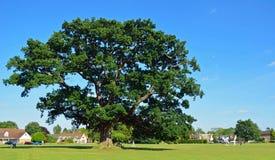 Grande quercia nel limite del cricket su verde Bedfordshire di Ickwell Immagine Stock