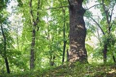 Grande quercia nella bella scena del parco in parco con erba verde fotografia stock